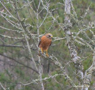 Redshoulderedhawk