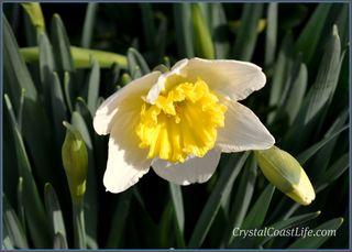 Watermarkeddaffodil
