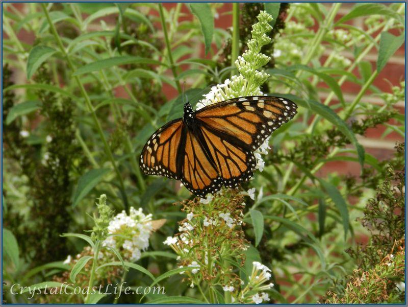 Butterflywm