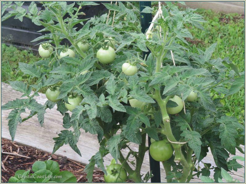 Tomatoeswm