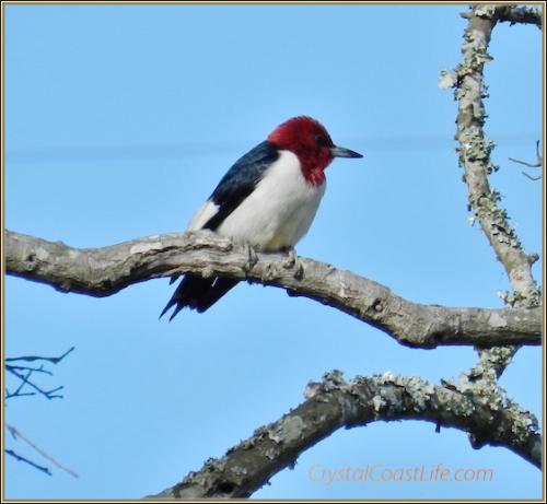 Redheadedwoodpecker2012wmpxlrm