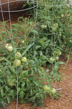 Tomatoconcession