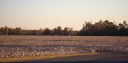 Cottonfield_2