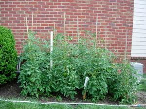 Tomatocrop
